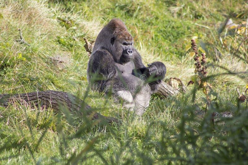 Um gorila que senta-se na grama foto de stock