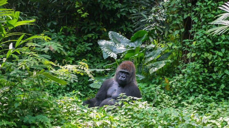 Um Gorilla Silverback Mountain selvagem na selva tropical foto de stock