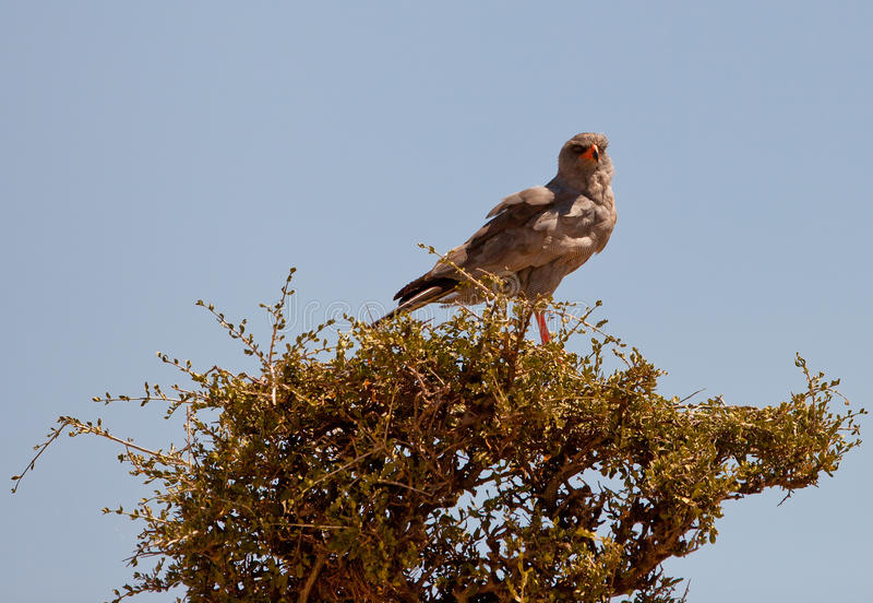 Um Goshawk Escuro-chanting em uma árvore fotografia de stock