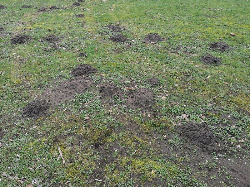 Um gramado arruinado por toupeiras foto de stock