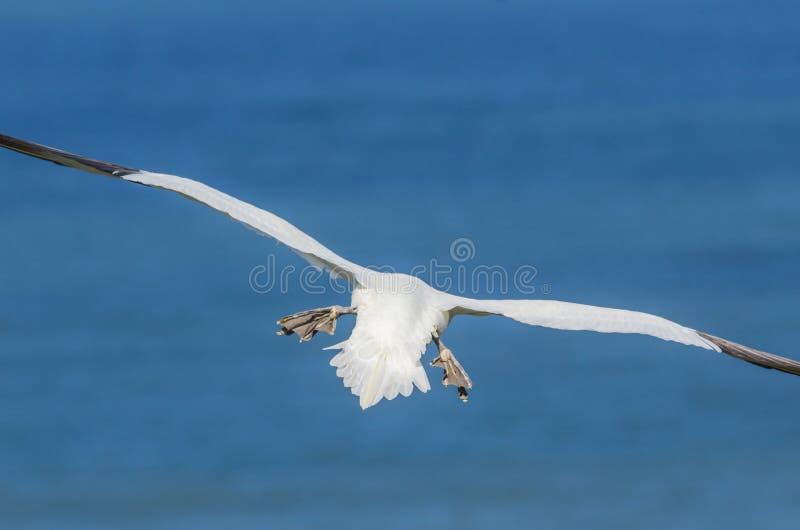 Um grande albatroz em voo imagens de stock royalty free