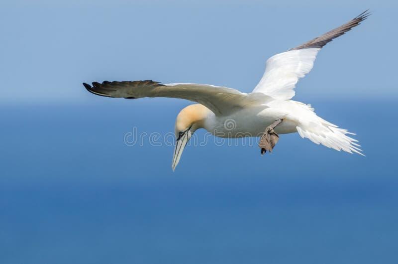 Um grande albatroz em voo foto de stock