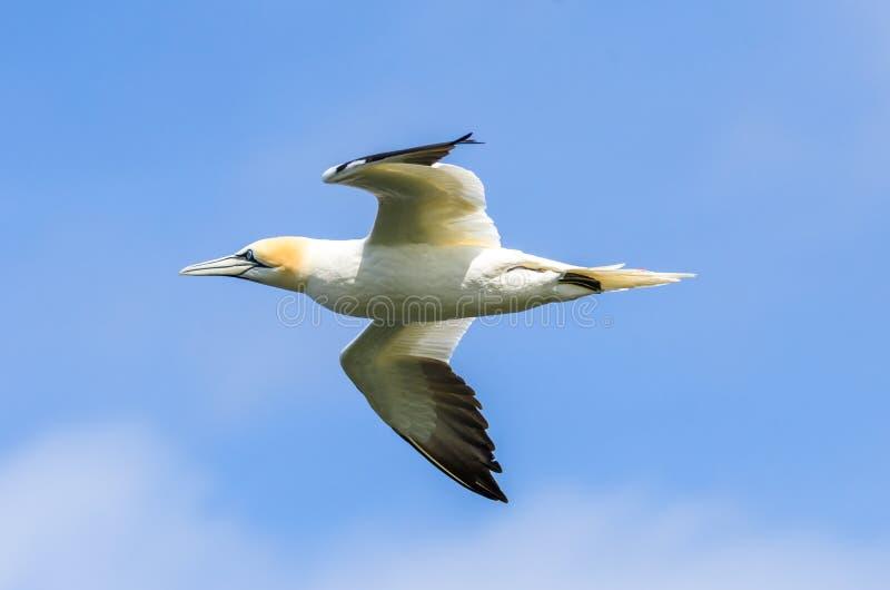 Um grande albatroz em voo imagem de stock royalty free