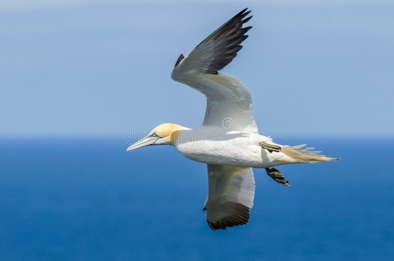Um grande albatroz em voo fotos de stock royalty free