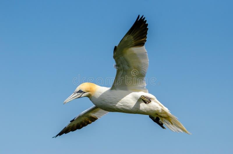 Um grande albatroz em voo imagem de stock