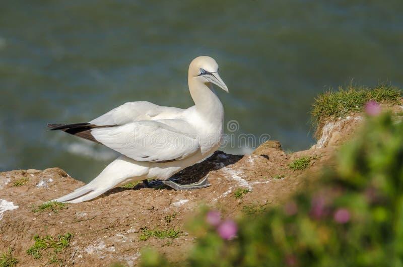 Um grande albatroz na terra durante a estação do assentamento foto de stock royalty free