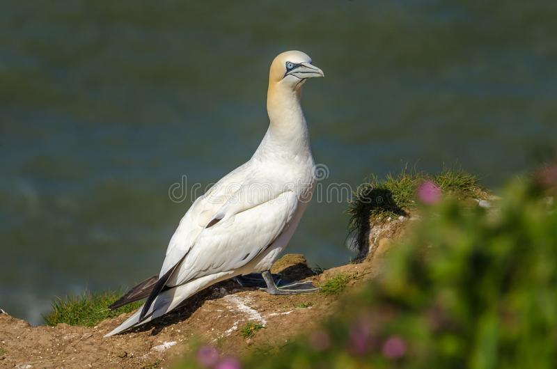 Um grande albatroz na terra durante a estação do assentamento fotografia de stock