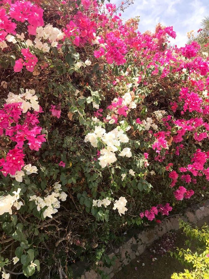 Um grande arbusto luxúria bonito, uma planta tropical exótica com as flores brancas e roxas, cor-de-rosa com pétalas delicadas, u fotografia de stock