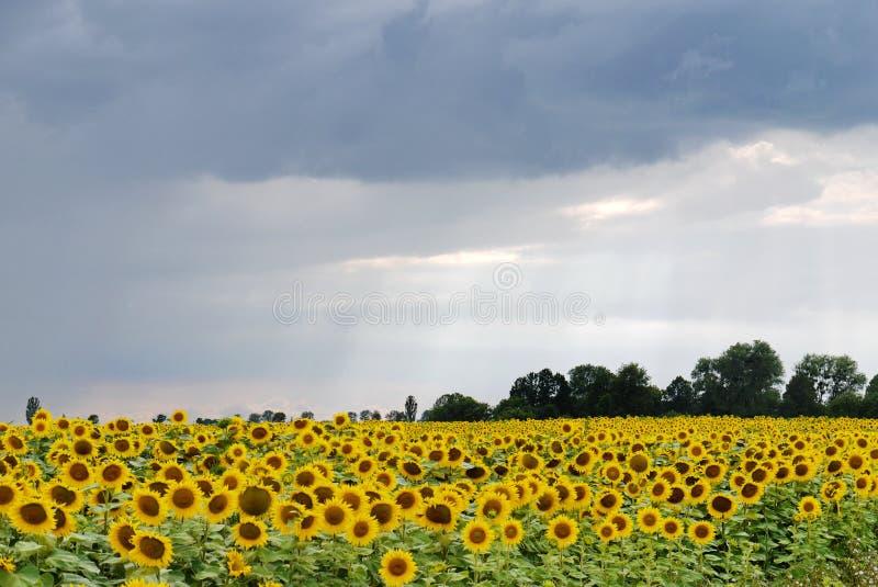 Um grande campo dos girassóis abriu em um dia chuvoso fotografia de stock royalty free
