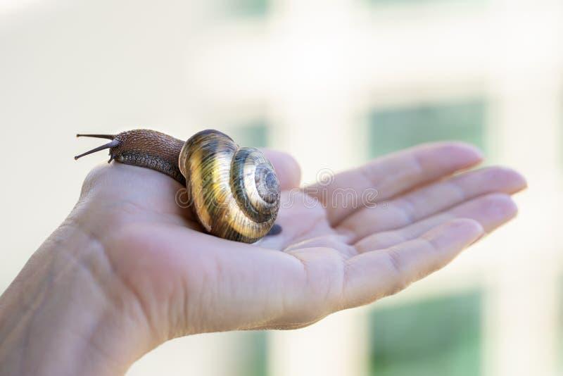 Um grande caracol na palma de sua mão fotografia de stock