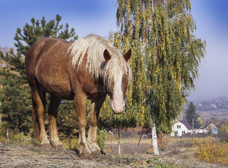 um grande cavalo vermelho com suportes brancos longos de uma juba no fundo de árvores amarelas fotos de stock royalty free