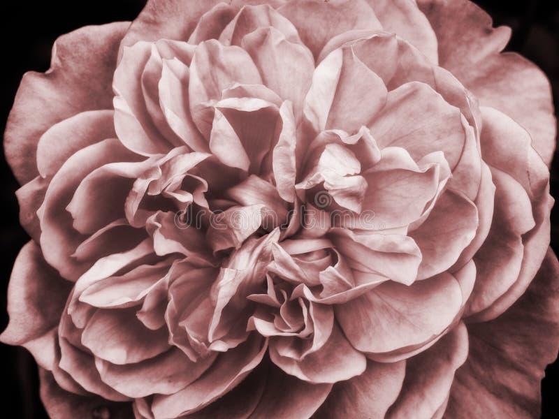 Um grande cor-de-rosa desvanecido aumentou fotografia de stock