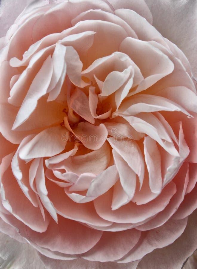 Um grande cor-de-rosa desvanecido aumentou imagens de stock