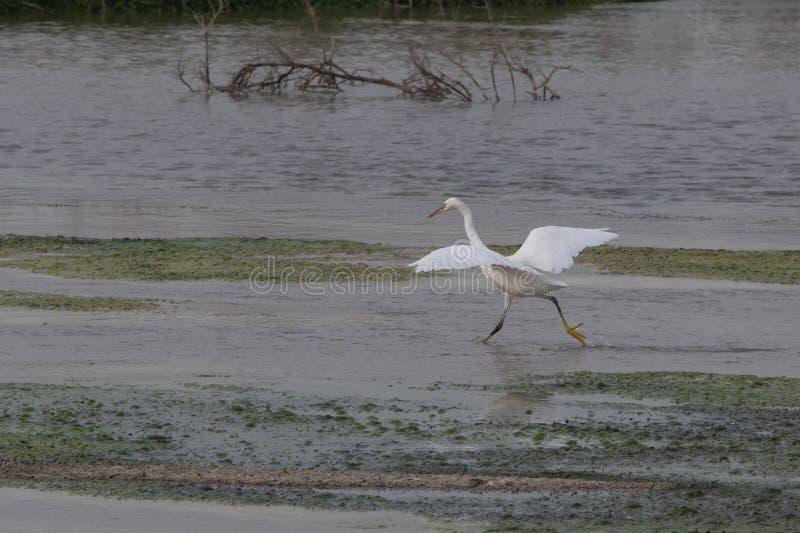 Um grande Egret à procura de um peixe imagem de stock royalty free