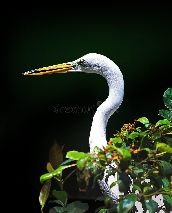 Um grande egret é representado aqui imagens de stock