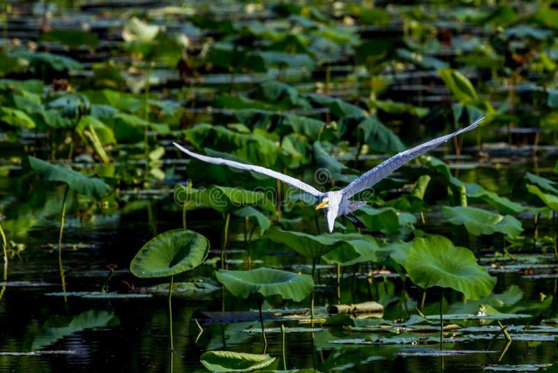 Um grande Egret branco bonito em voo entre Lotus Water Lilies fotos de stock royalty free