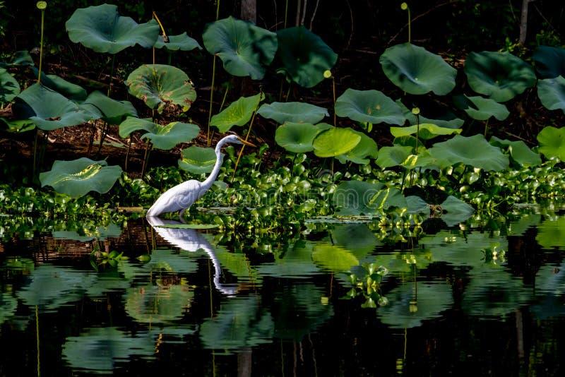Um grande Egret branco bonito entre Lotus Water Lilies com reflexão imagem de stock royalty free
