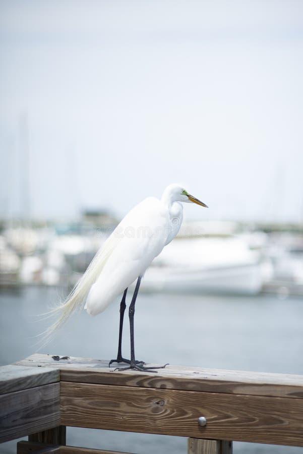 Um grande Egret branco empoleira-se em um cais ao longo do rio de Matanzas em St Augustine, Florida EUA fotos de stock royalty free