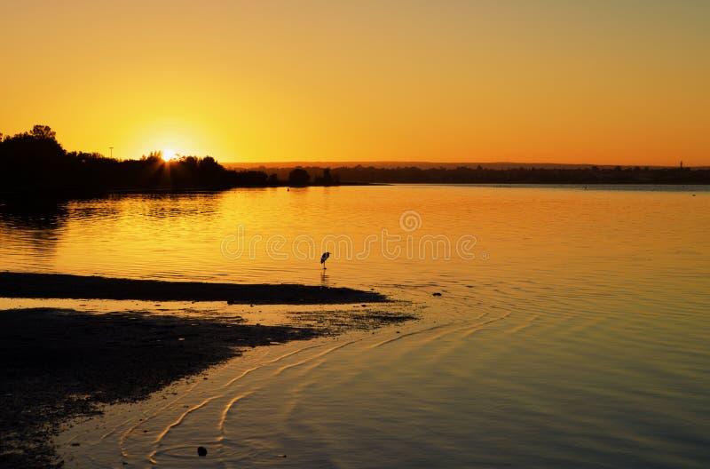 Um grande Egret que aprecia o morno do nascer do sol fotos de stock