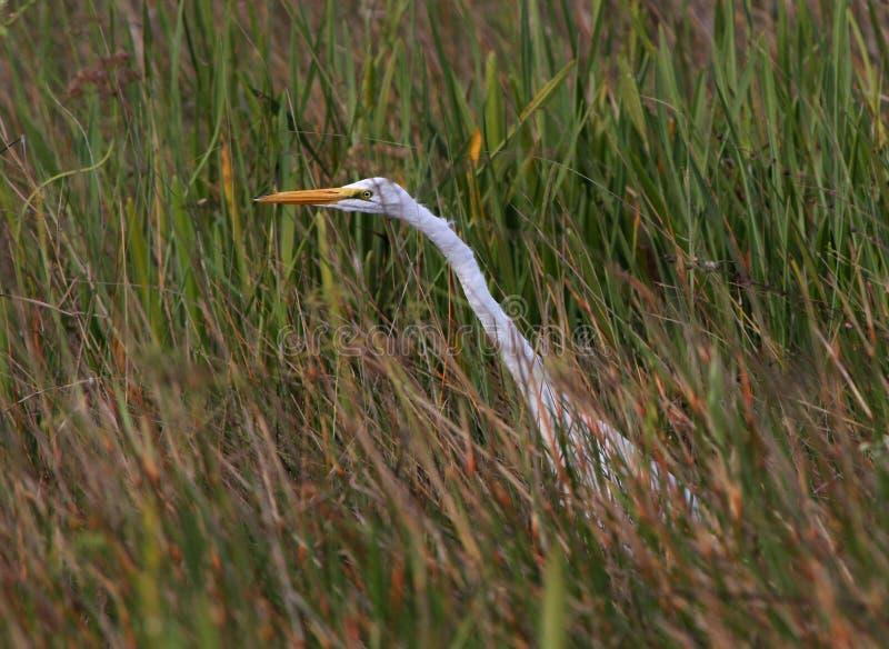 Um grande Egret que caça na grama da serra foto de stock royalty free