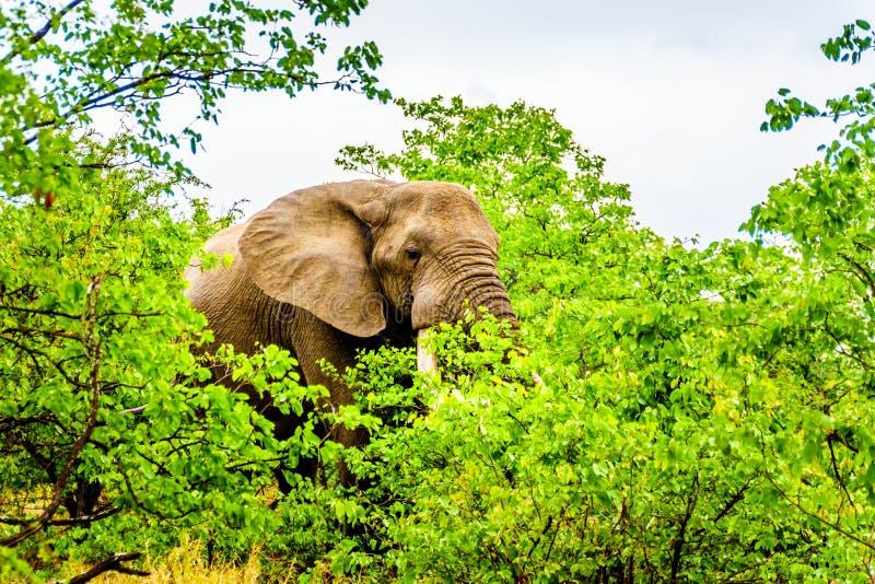 Um grande elefante africano adulto que come as folhas das árvores de Mopane em uma floresta perto de Letaba no parque nacional de fotos de stock royalty free