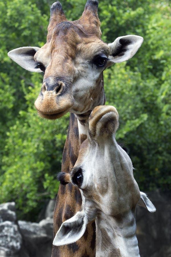 Um grande girafa da mãe e do bebê do girafa imagens de stock