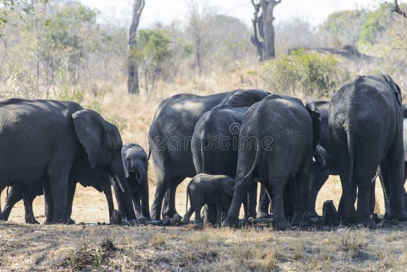 Um grande grupo de elefantes africanos fotos de stock royalty free