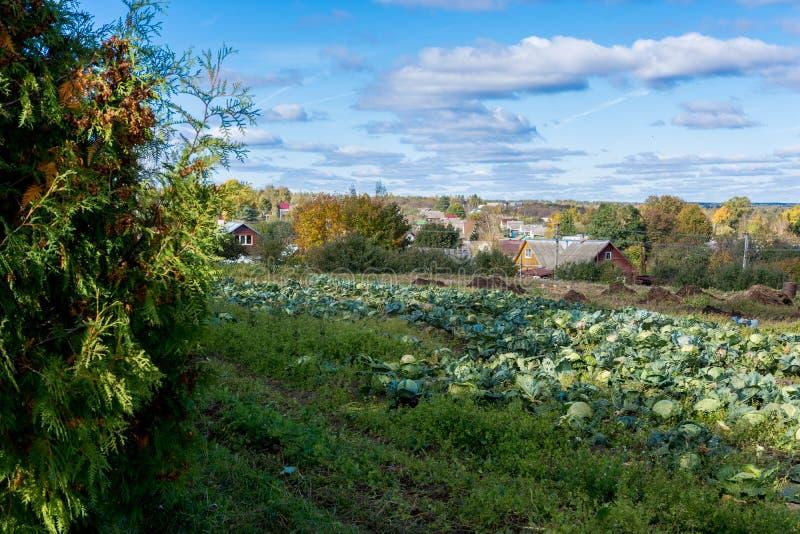 Um grande jardim onde a couve amadurecida cresça, que foi plantada pelos habitantes de Rússia imagem de stock