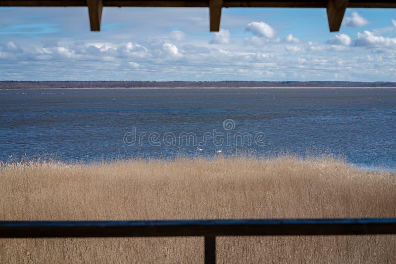 Um grande lago com muitas cisnes brancas fotografia de stock