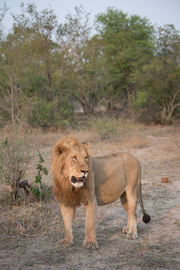 Um grande leão masculino em um esclarecimento seco foto de stock royalty free