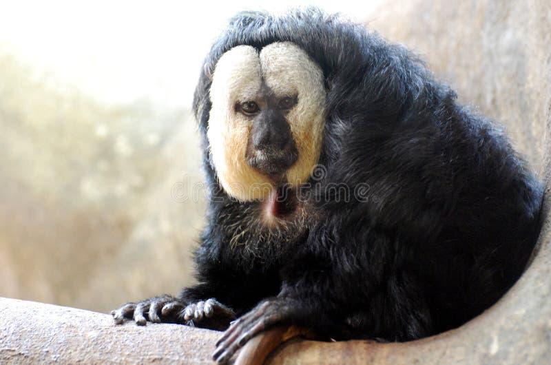 Um grande olhar em um branco enfrentou Saki Monkey foto de stock