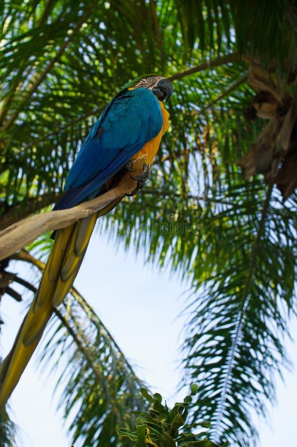 Um grande papagaio colorido foto de stock