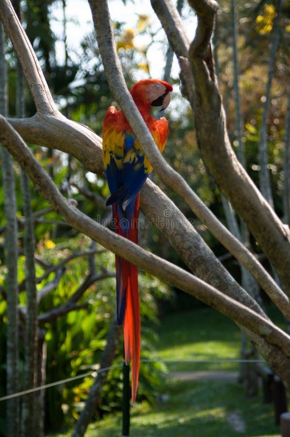 Um grande papagaio colorido imagens de stock