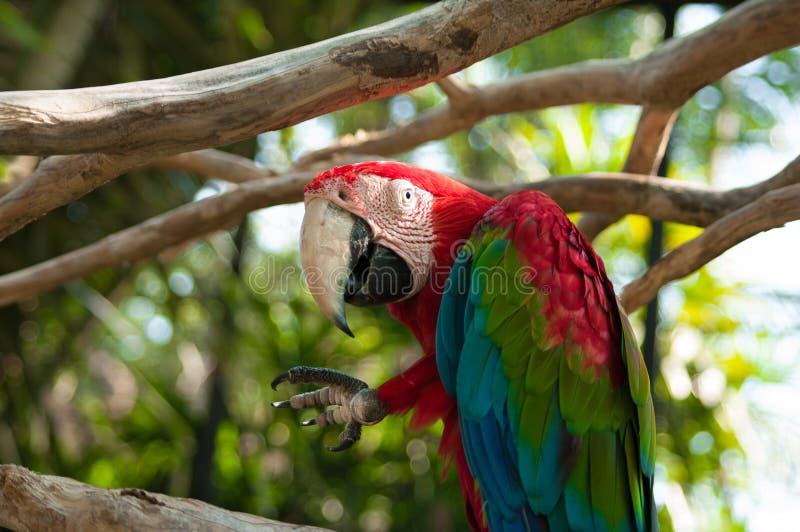 Um grande papagaio colorido imagem de stock