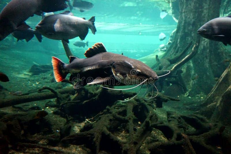 Um grande peixe-gato do rio que flutua em um grande aquário atrás do vidro imagens de stock