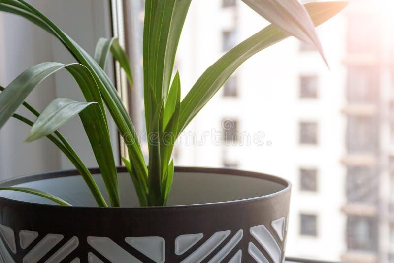 Um grande potenciômetro preto e branco com uma planta verde está em uma soleira branca pela janela Opini?o do close up foto de stock