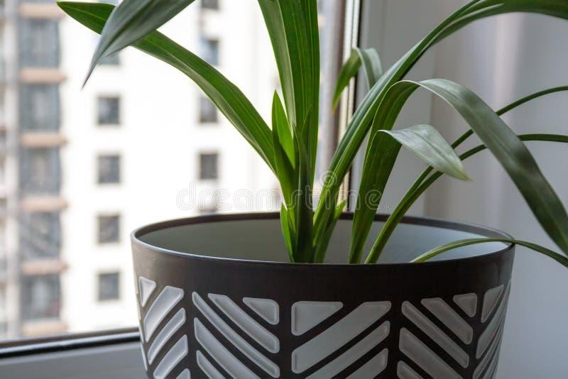 Um grande potenciômetro preto e branco com uma planta verde está em uma soleira branca pela janela Opini?o do close up imagem de stock