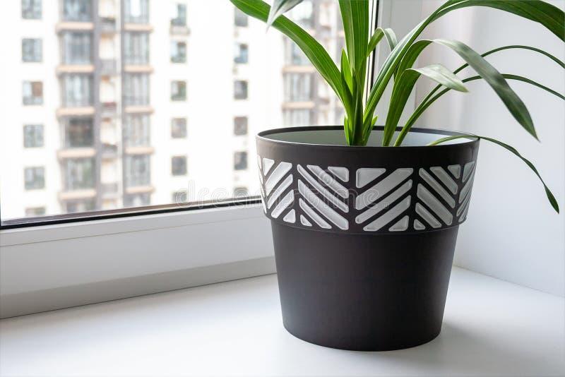 Um grande potenciômetro preto e branco com uma planta verde está em uma soleira larga branca pela janela fotos de stock royalty free