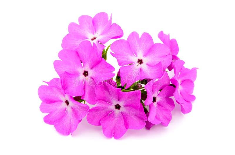 Um grande primrose florescido cor-de-rosa fotografia de stock royalty free