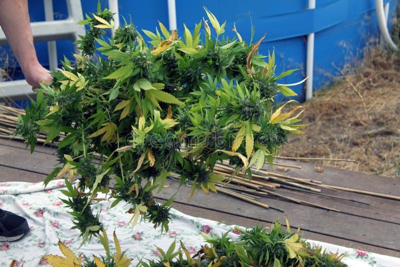 Um grande ramo da marijuana médica fotos de stock