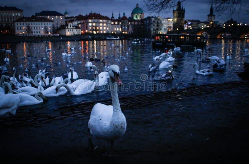 Um grande rebanho das cisnes que nadam na noite no rio de Vltava foto de stock