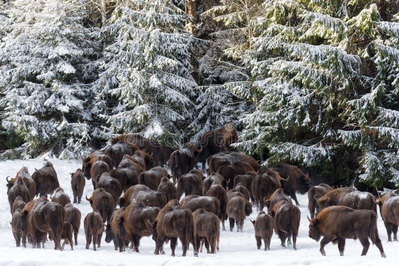 Um grande rebanho diverso dúzia cabeças do europeu selvagem Brown Bison Bison Bonasus Enters The Pine Forest Along The Snow-Cover fotografia de stock