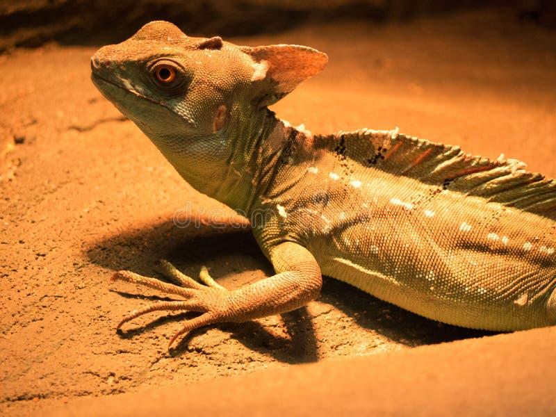 Um grande retrato de um lagarto Cuidadoso e pronto atacar fotos de stock royalty free