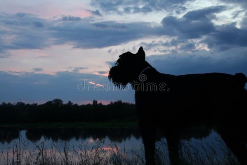 Um grande terrier do preto do cão preto olha na distância no rio imagem de stock
