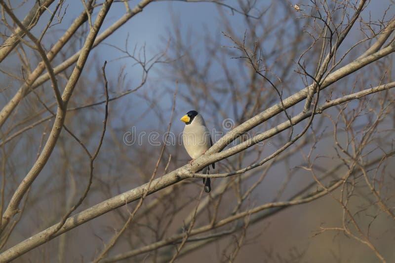 Um Grosbeak japonês em um ramo da árvore fotografia de stock