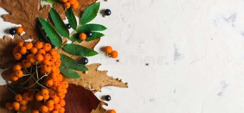 Um grupo da cinza de montanha alaranjada madura com folhas verdes Folhas secas do outono Bagas pretas Pedra ou emplastro branco fotografia de stock royalty free