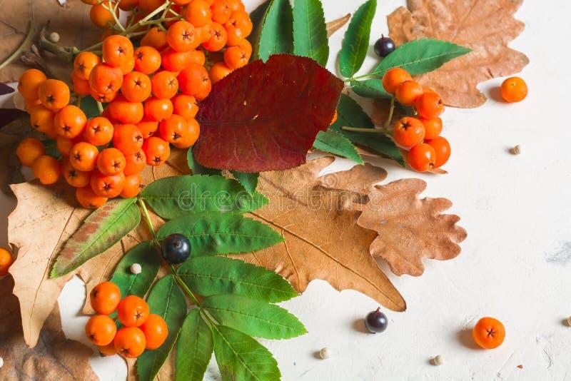 Um grupo da cinza de montanha alaranjada madura com folhas verdes Folhas secas do outono Bagas pretas Pedra ou emplastro branco fotos de stock