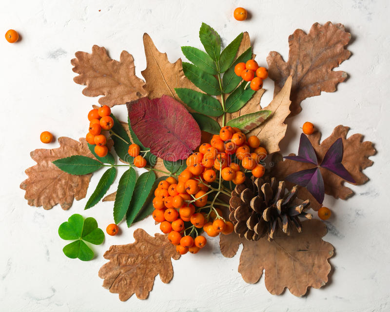 Um grupo da cinza de montanha alaranjada madura com folhas verdes Folhas secas do outono Bagas pretas Pedra ou emplastro branco fotografia de stock