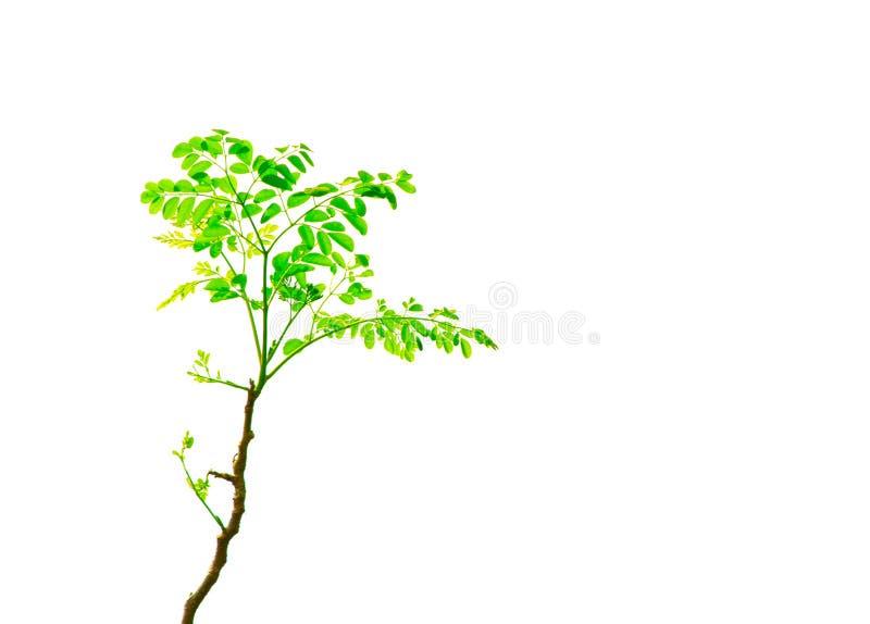 Um grupo da folha verde do Lam da moringa oleifera da árvore do rabanete de cavalo brota nele os galhos isolados no fundo branco foto de stock royalty free