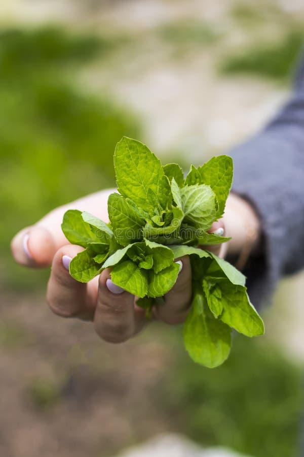 Um grupo da hortelã perfumada verde nas mãos de uma menina adulta fotografia de stock